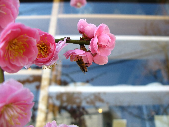2013-3-3梅とみつばち