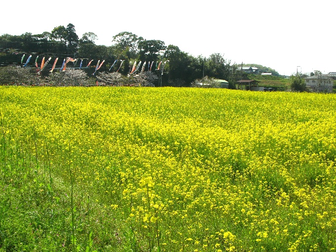 2013-4菜の花畑