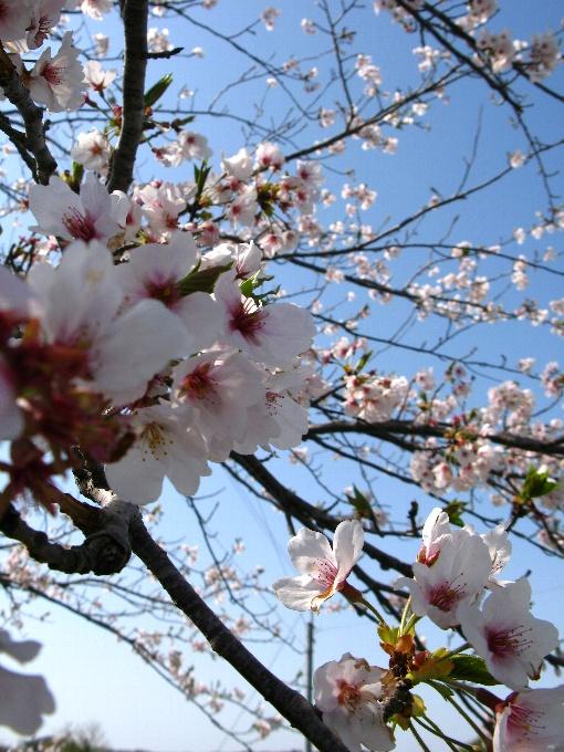 2013-4桜