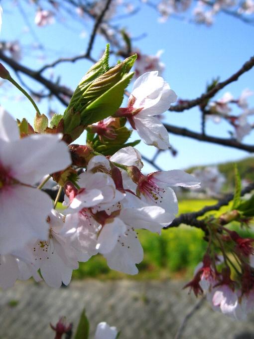 2013-4桜と菜の花畑