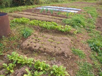 10.30露地に野菜たち