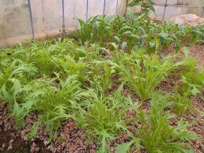 11.8ハウスの水菜・壬生菜