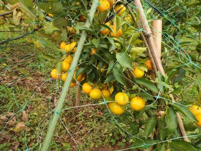 11.8柑橘1