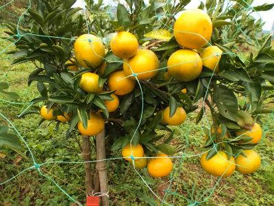 11.8柑橘2