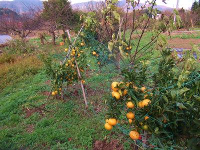 11.22畑の柑橘