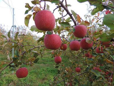 11.24リンゴ1