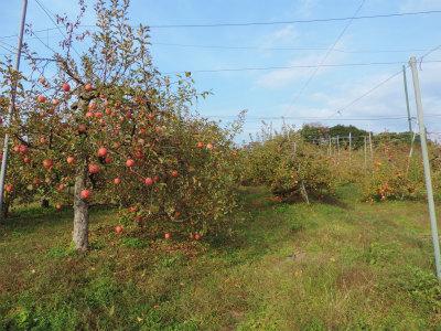 11.24リンゴ3