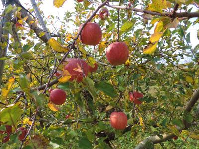 11.24リンゴ4