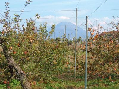 11.24リンゴ畑から大山を望む2