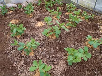 12.13ハウスの空豆