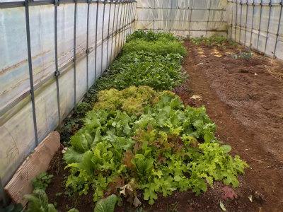 12.13ハウスの野菜たち