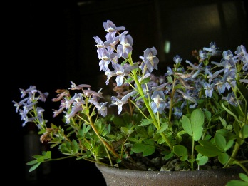 エンゴサク花