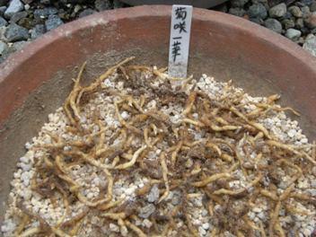 イチゲ植え付け