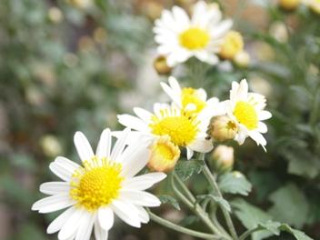 6カワラノギク・白花