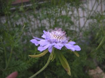 8マツムシソウ花1