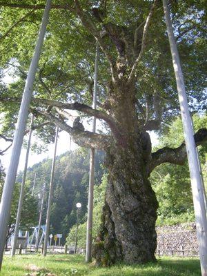 3-3荘川桜