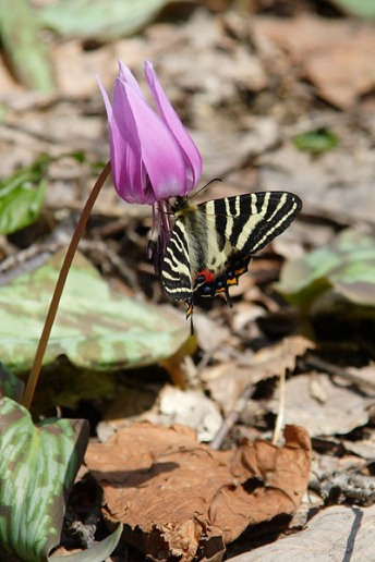 2-5ギフチョウとカタクリの花