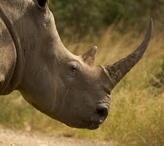 rhino rin