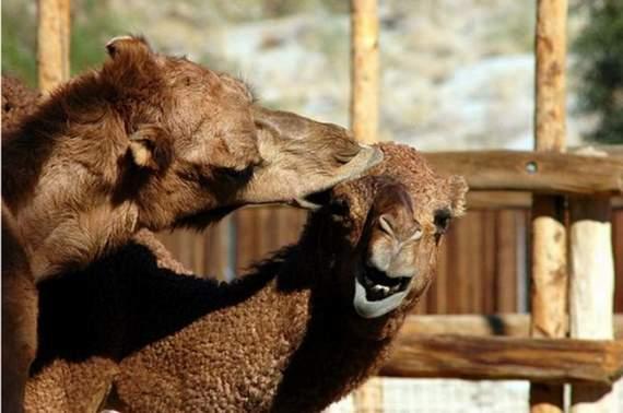 Never_Tease_a_Camel__13.jpg