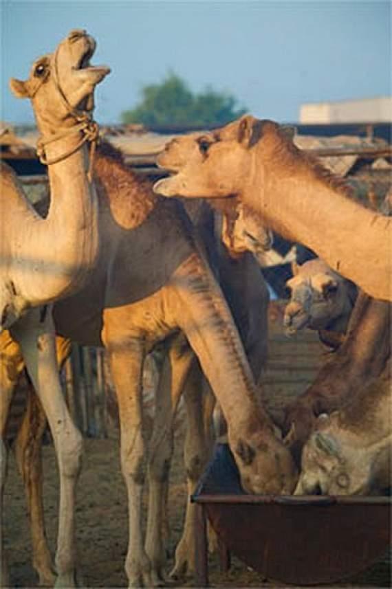 Never_Tease_a_Camel__14.jpg