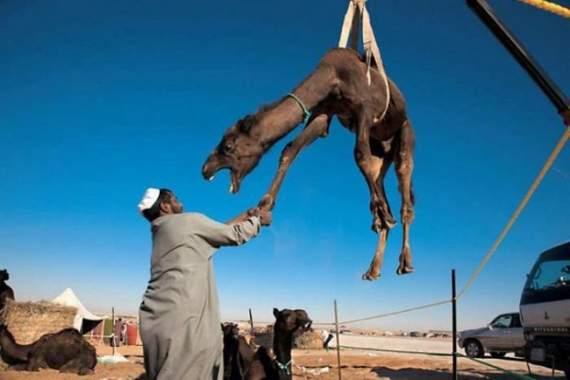 Never_Tease_a_Camel__17.jpg