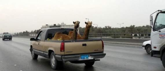Never_Tease_a_Camel__18.jpg