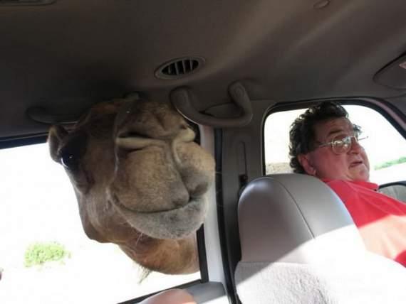Never_Tease_a_Camel__19.jpg