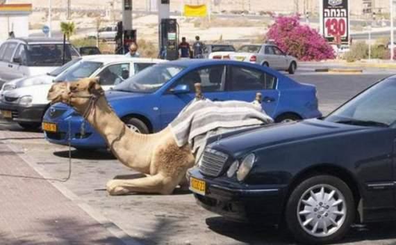 Never_Tease_a_Camel__20.jpg
