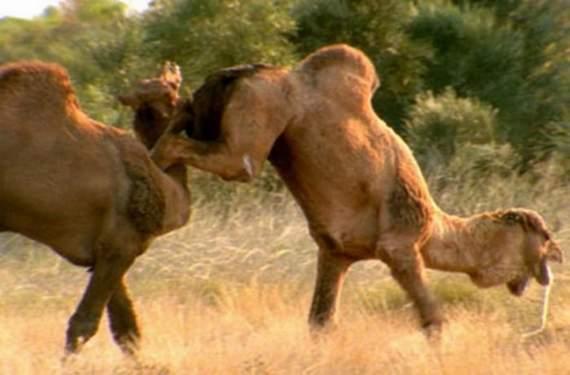 Never_Tease_a_Camel__3.jpg