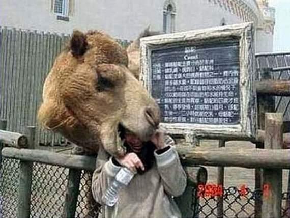 Never_Tease_a_Camel__5.jpg