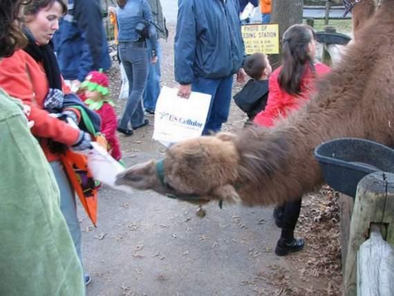 Never_Tease_a_Camel__6.jpg