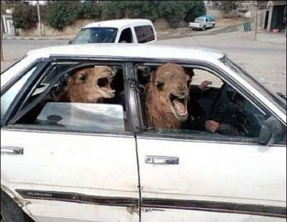 Never_Tease_a_Camel__8.jpg