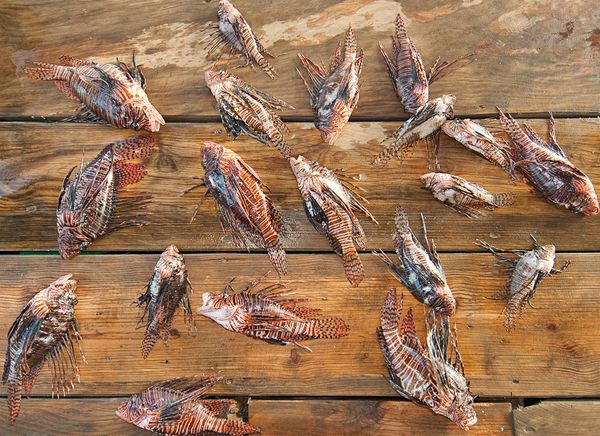 sharks-eating-lionfish-dead-dock-caught.jpg
