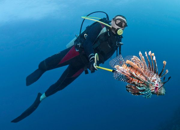 sharks-eating-lionfish-dive.jpg