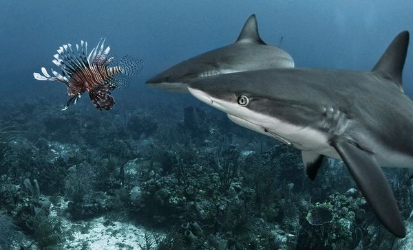 sharks-eating-lionfish-eyeing.jpg