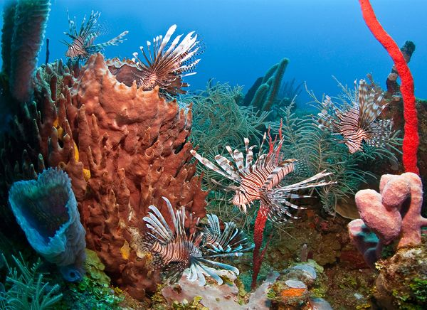 sharks-eating-lionfish-invasive-species.jpg