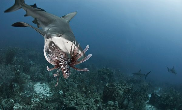 sharks-eating-lionfish-mouth-open.jpg