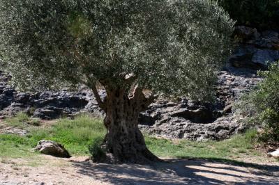 olive01s.jpg