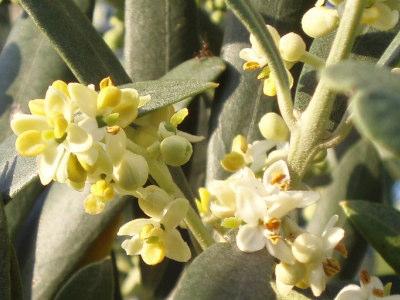 olive03s1.jpg