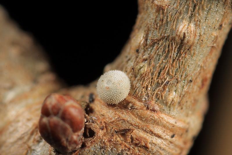 オオミドリシジミ越冬卵