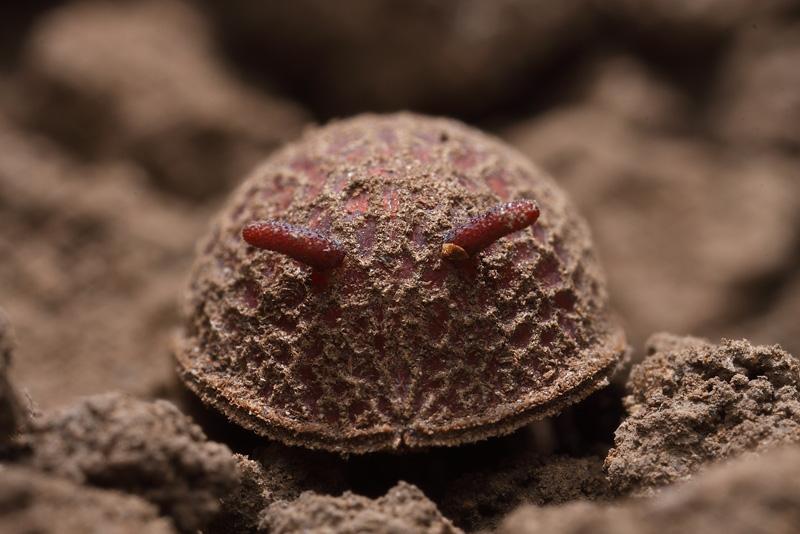 アリスアブの蛹