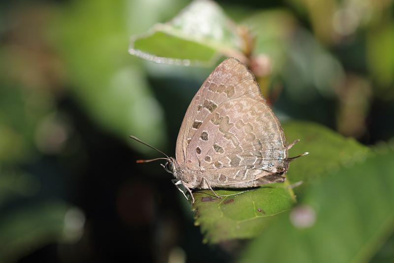 A.eumolphus