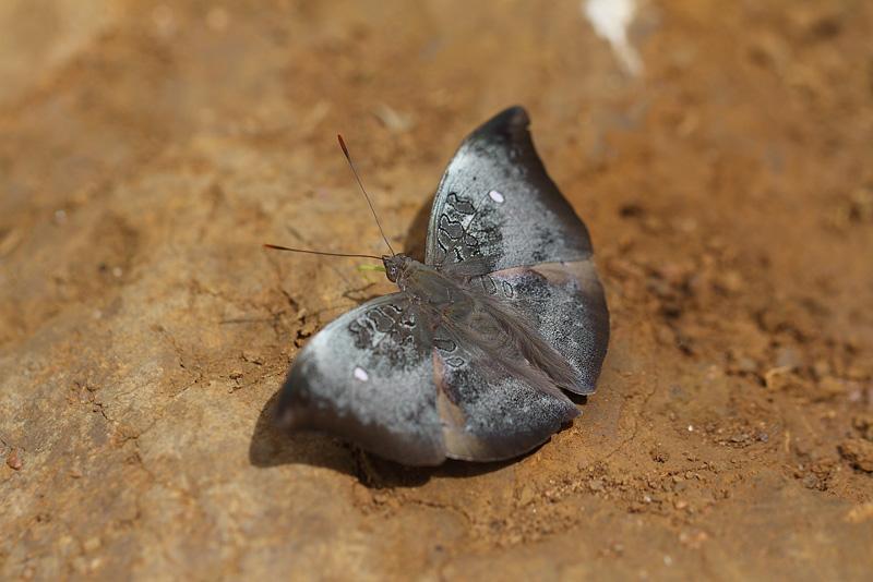 E.saitaphernes♂