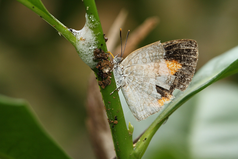 P.erycinoides