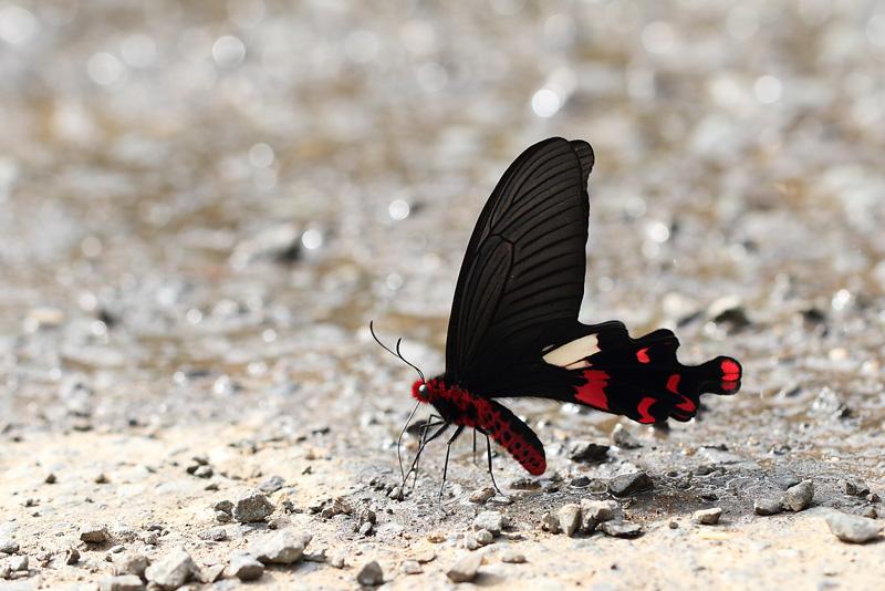P.aristlochiae