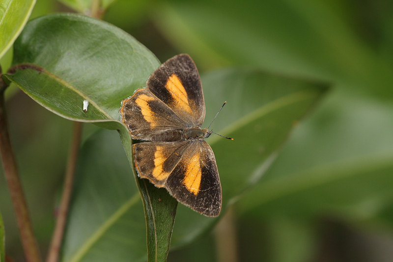 P.erycinoides♀
