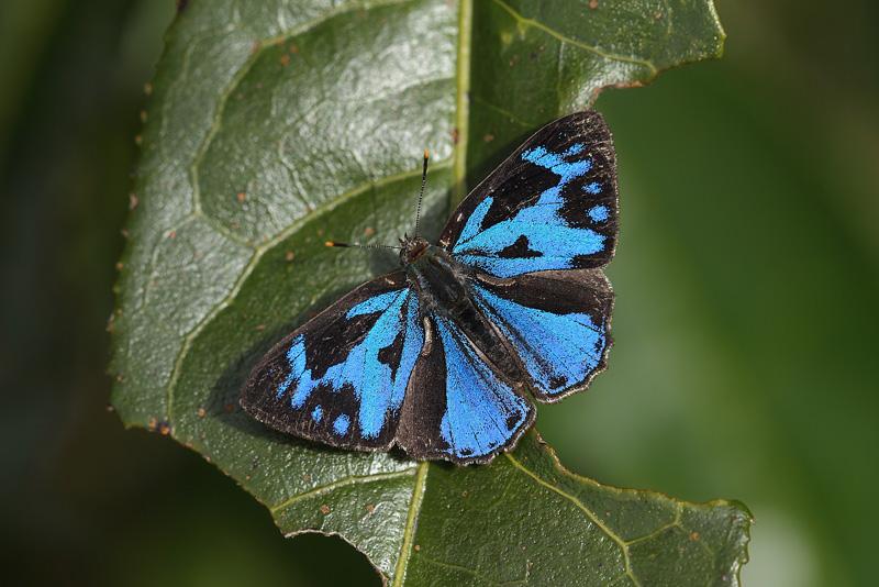 P.erycinoides♂