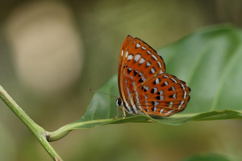 L.thuisto