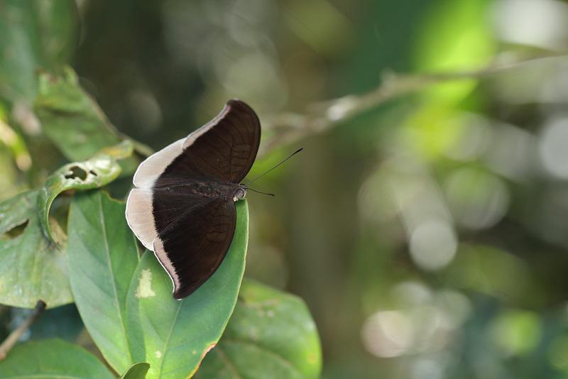 C.lepidea