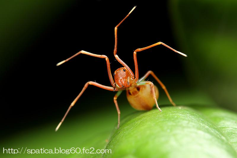 アリマネシカニグモ?